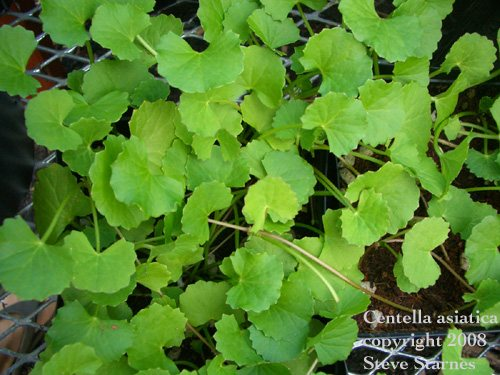 the uses of the gotu kola plant Gotu kola is a perennial plant that is native to asia and has different applications  for health a comprehensive and systematic review of the biomedical literature.